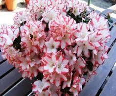 گل خرزهره هندی