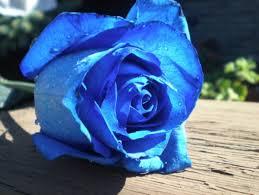 گل رز آبی ایرانی
