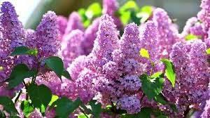 گل یاسمن بنفش