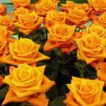 گل رز آلیا
