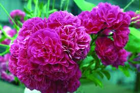 گل رز وحشی