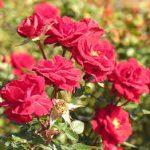 گل رز امپریال