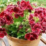 گل شمعدانی هلندی